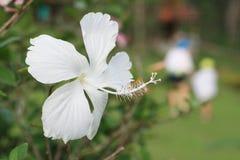 Fleur blanche de ketmie Photographie stock libre de droits