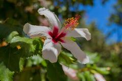 Fleur blanche de ketmie Images libres de droits