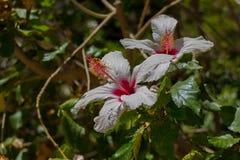 Fleur blanche de ketmie Images stock