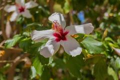 Fleur blanche de ketmie Photos stock