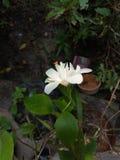 Fleur blanche de ketmie Photo stock