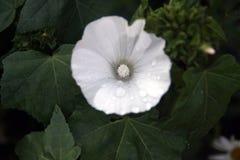 Fleur blanche de lavatera Photographie stock libre de droits