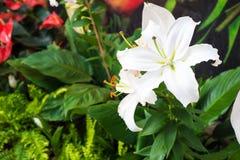 Fleur blanche de Lilly dans le jardin Photographie stock