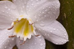 Fleur blanche de lis d'Amazone sur le bois en bambou Photographie stock libre de droits