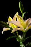 Fleur blanche de lis d'astronome Photographie stock libre de droits