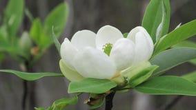 Fleur blanche de magnolia Photographie stock