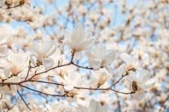 Fleur blanche de magnolia en avril, branche au-dessus de fond de ciel bleu, Corée du Sud Image libre de droits