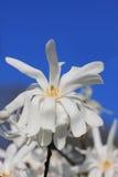 Fleur blanche de magnolia et ciel bleu d'espace libre Photographie stock