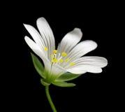 Fleur blanche de mouron des oiseaux Photo stock