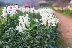 Fleur blanche de muflier dans le jardin Images libres de droits