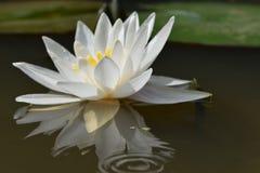 Fleur blanche de nénuphar sur une surface douce photo libre de droits
