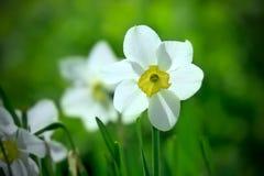 Fleur blanche de narcisse Photographie stock