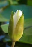 Fleur blanche de nénuphar parmi les algues vertes dans le lac Image stock