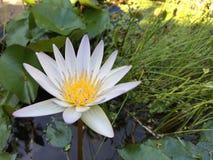 Fleur blanche de Nymphaea Photos libres de droits