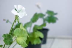 Fleur blanche de pélargonium, géranium, connu sous le nom de storksbills, usine à la maison Images libres de droits