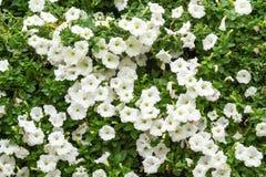 Fleur blanche de pétunia Photographie stock libre de droits
