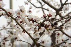 Fleur blanche de pêche en pleine floraison Images libres de droits