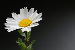 Fleur blanche de Pôle Nord sur le noir Photo libre de droits