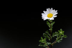Fleur blanche de Pôle Nord sur le noir 2 Photo libre de droits