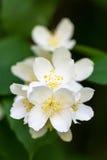 Fleur blanche de Philadelphus d'été sur un arbre avec la profondeur du champ courte photo stock