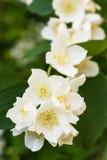 Fleur blanche de Philadelphus d'été sur un arbre avec la profondeur du champ courte images libres de droits