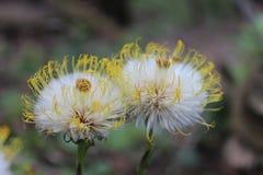Fleur blanche de pissenlit Image stock
