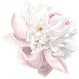 Fleur blanche de pivoine Image libre de droits