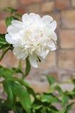 Fleur blanche de pivoine sur un fond de mur de briques Photo libre de droits