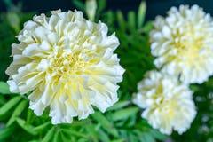 Fleur blanche de plan rapproché d'aster photos stock