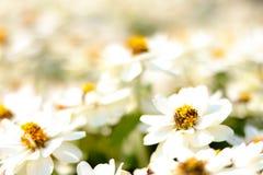 Fleur blanche de plan rapproché sur le fond de fleurs blanches de tache floue - Image photo libre de droits