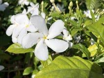 Fleur blanche de Plumeria Images stock