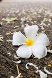 Fleur blanche de Plumeria Photo stock