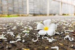 Fleur blanche de Plumeria Photographie stock libre de droits