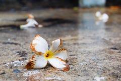 Fleur blanche de Plumeria Photographie stock