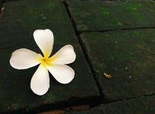 Fleur blanche de Plumeria Images libres de droits