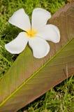 Fleur blanche de plumeria avec le congé photo libre de droits
