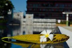 Fleur blanche de Plumeria avec sa feuille près de piscine Image libre de droits