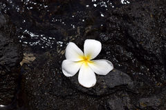 Fleur blanche de plumeria sur la lave noire images stock