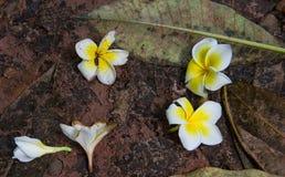 Fleur blanche de plumeria tombant au sol Photo libre de droits