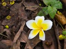 Fleur blanche de plumeria tombant au sol Photos stock