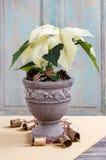 Fleur blanche de poinsettia (pulcherrima d'euphorbe) Image stock