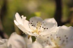 Fleur blanche de poire Photos stock