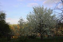 Fleur blanche de poires Heure d'or au printemps même en parc de ville photographie stock libre de droits