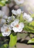 Fleur blanche de poirier Photo libre de droits