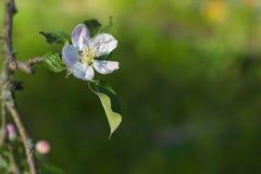 Fleur blanche de pommier sur une branche et un fond vert Photographie stock libre de droits