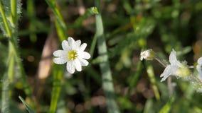 Fleur blanche de pr? sur un fond brouill? d'herbe banque de vidéos