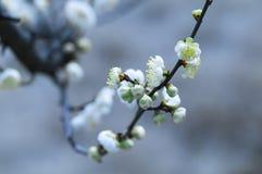 Fleur blanche de prune Photo stock