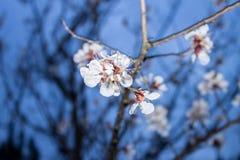 Fleur blanche de prunier de ressort la nuit Image stock