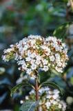 Fleur blanche de ressort Photographie stock