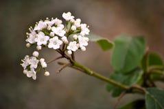 Fleur blanche de ressort Photo stock